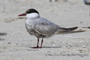 Whiskered Tern, Photo by Michael Crewe